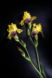 在黑背景-五颜六色的虹膜花的五颜六色的花 库存图片