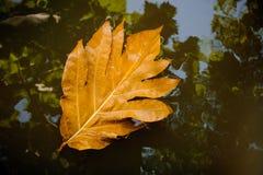 在水自然背景的秋叶 库存照片