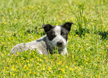 在黄色三叶草的幼小得克萨斯Heeler小狗 免版税库存图片