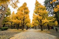 在黄色东京大学的轮的银杏树 库存图片