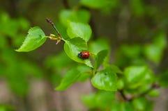 在绿色事假的孤独的瓢虫 图库摄影