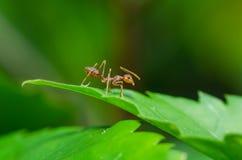 在绿色事假的红色蚂蚁 免版税图库摄影
