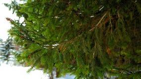 在绿色云杉的分支的雪 股票录像