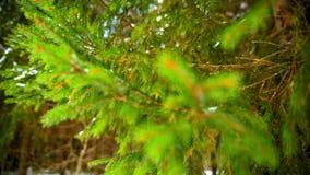 在绿色云杉的分支的雪 影视素材