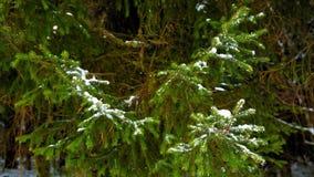 在绿色云杉的分支的雪 股票视频