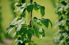 在绿色佛蒙特状态的生长蛇麻草工艺啤酒的 免版税图库摄影