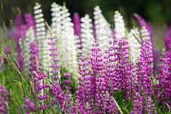 在绿色农村领域的美丽的紫色和白色野花 免版税库存图片