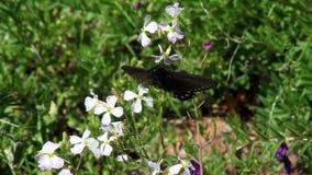在紫色凶猛花的紧的射击黑色蝴蝶 影视素材