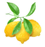 在绿色分支的黄色柠檬 图库摄影