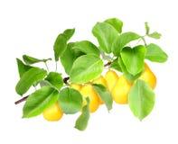 在绿色分支的黄色梨 免版税库存图片