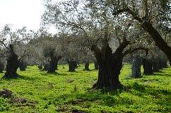 在以色列的北部的橄榄树 免版税库存图片