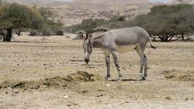 在以色列自然保护的非洲野驴 股票录像