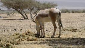 在以色列自然保护的非洲野驴 影视素材