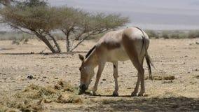 在以色列自然保护的非洲野驴 股票视频