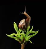 在绿色发芽的叶子的蜗牛 库存照片