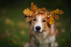 在黄色叶子下的博德牧羊犬在秋天 库存照片