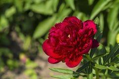 在绿色叶子中的明亮的红色牡丹花 免版税图库摄影