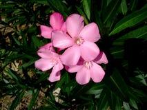 在绿色叶子中的桃红色热带花 库存照片