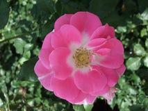 在绿色叶子中的桃红色玫瑰 库存照片