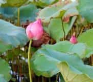 在绿色叶子中的桃红色莲花 免版税库存照片