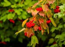 在绿色叶子中的红色荚莲属的植物莓果 免版税库存图片
