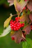 在绿色叶子中的荚莲属的植物莓果 库存照片