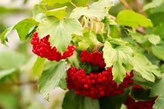 在绿色叶子中的荚莲属的植物莓果 免版税库存照片