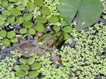 在绿色叶子之间的青蛙 免版税库存图片