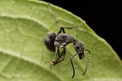 在绿色叶子孤立的蚂蚁摇摆在黑背景 库存图片