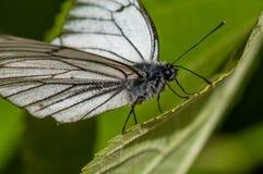 在绿色叶子特写镜头的黑白蝴蝶Aporia crataegi,宏指令 免版税库存照片