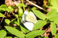在绿色叶子的两只白色蝴蝶在春天 库存照片