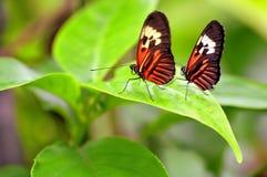 在绿色叶子的两只钢琴关键蝴蝶 库存照片