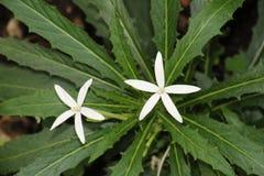在绿色叶子的两束小白花 免版税库存照片
