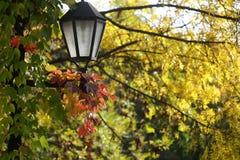 在黄色叶子的俏丽的灯笼 库存图片