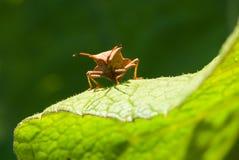 在绿色叶子的南瓜虫 库存图片