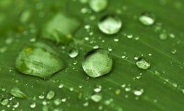 在绿色叶子的圆的水下落 在雨以后的异乎寻常的庭院 雨季在热带 库存图片