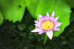 在绿色叶子的开花的紫色莲花  免版税库存图片