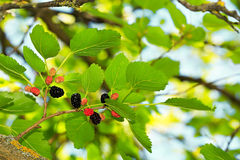 在绿色叶子的成熟桑树 免版税库存照片