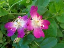 在绿色叶子的明亮的野蔷薇花 免版税图库摄影