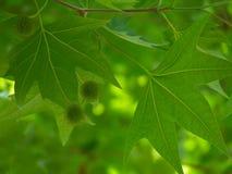 在绿色叶子的栗子荚 库存图片