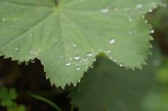 在绿色叶子的清早露水在北海道 免版税库存图片