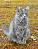 在黄色叶子的灰色猫 免版税库存照片