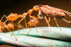 在绿色叶子的特写镜头蚂蚁 图库摄影
