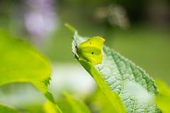 在绿色叶子的特写镜头蝴蝶 免版税库存照片