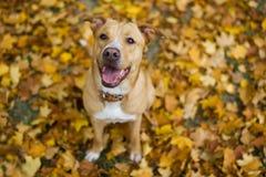 在黄色叶子的狗 库存图片