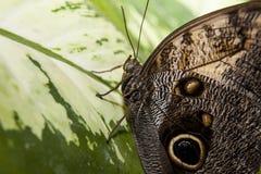 在绿色叶子的猫头鹰蝴蝶 免版税库存照片