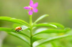 在绿色叶子的瓢虫选址 免版税库存照片