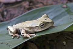 在绿色叶子的真实的雨蛙 免版税图库摄影