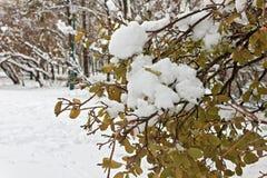在绿色叶子的第一雪在12月 库存图片