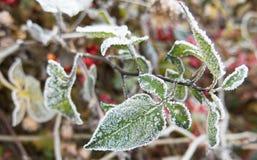 在绿色叶子的第一霜 库存照片